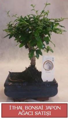 İthal küçük boy minyatür bonsai ağaç bitkisi  Yozgat çiçekçi telefonları