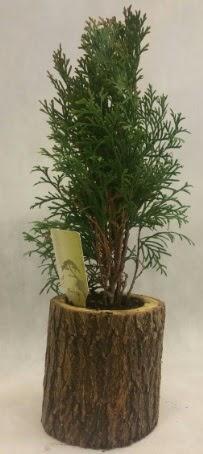 SINIRLI STOK Selvi Bonsai Doğal kütükte  Yozgat İnternetten çiçek siparişi
