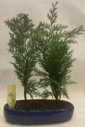 SINIRLI SAYIDA Selvi Ağacı bonsai ikili  Yozgat çiçekçi telefonları
