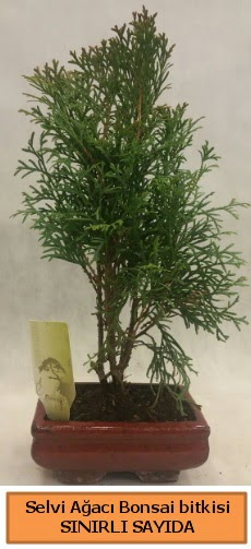 Selvi ağacı bonsai japon ağacı bitkisi  Yozgat çiçek satışı