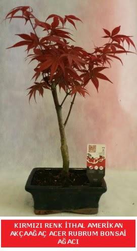 İTHAL ACER RUBRUM BONSAİ AĞACI  Yozgat çiçek gönderme sitemiz güvenlidir