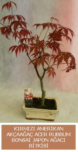 Amerikan akçaağaç Acer Rubrum bonsai  Yozgat uluslararası çiçek gönderme