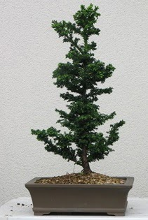 Çam ağacı bonsai bitkisi satışı  Yozgat çiçekçi telefonları