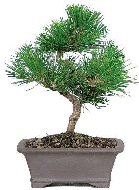 Çam ağacı bonsai japon ağacı bitkisi  Yozgat çiçek gönderme