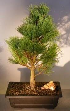 Çam ağacı japon ağacı bitkisi bonsai  Yozgat çiçekçi telefonları