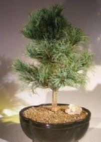 Çam ağacı bonsai bitkisi satışı  Yozgat ucuz çiçek gönder