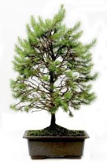 *** STOKTA YOK - Çam ağacı bonsai bitkisi satışı  Yozgat cicekciler , cicek siparisi