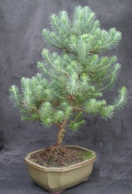 Bonsai çam ağacı japon ağacı bitkisi  Yozgat çiçek gönderme sitemiz güvenlidir