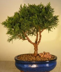 Servi çam bonsai japon ağacı bitkisi  Yozgat çiçek yolla