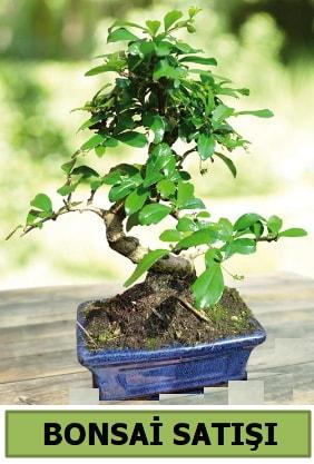 Çam bonsai japon ağacı satışı  Yozgat çiçek satışı
