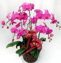 Sepet içerisinde 5 dallı lila orkide  Yozgat ucuz çiçek gönder