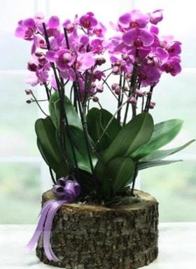 Kütük içerisinde 6 dallı mor orkide  Yozgat ucuz çiçek gönder