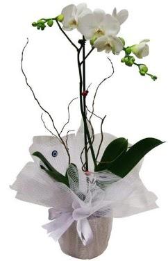 Tek dallı beyaz orkide  Yozgat cicek , cicekci