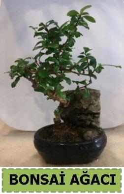 Bonsai ağacı japon ağacı satışı  Yozgat hediye çiçek yolla