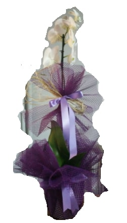 Tek dallı beyaz orkide süper kalite ithal  Yozgat çiçek siparişi sitesi