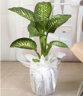 Tropik saksı çiçeği bitkisi  Yozgat çiçek satışı