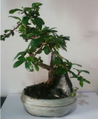 S şeklinde ithal bonsai ağacı  Yozgat çiçek yolla