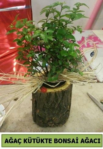 Doğal ağaç kütük içerisinde bonsai ağacı  Yozgat çiçek gönderme sitemiz güvenlidir
