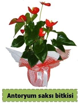 Antoryum saksı bitkisi satışı  Yozgat çiçek , çiçekçi , çiçekçilik