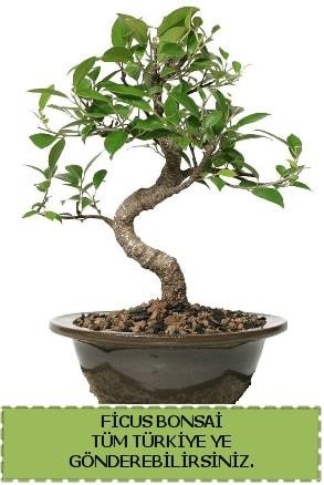 Ficus bonsai  Yozgat çiçek gönderme sitemiz güvenlidir