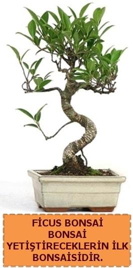 Ficus bonsai 15 ile 25 cm arasındadır  Yozgat çiçek yolla