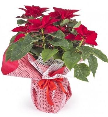 Atatürk çiçeği saksı bitkisi  Yozgat çiçek gönderme sitemiz güvenlidir