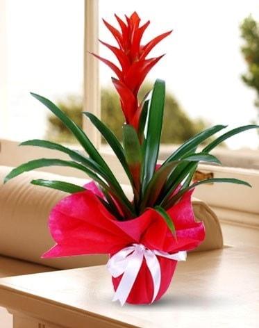 Guzmanya Saksı Çiçeği  Yozgat çiçek yolla