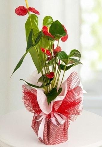 Anthurium Saksı Çiçeği  Yozgat hediye çiçek yolla