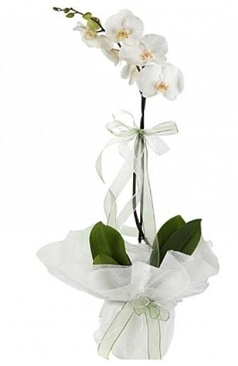 Tekli Beyaz Orkide  Yozgat hediye çiçek yolla