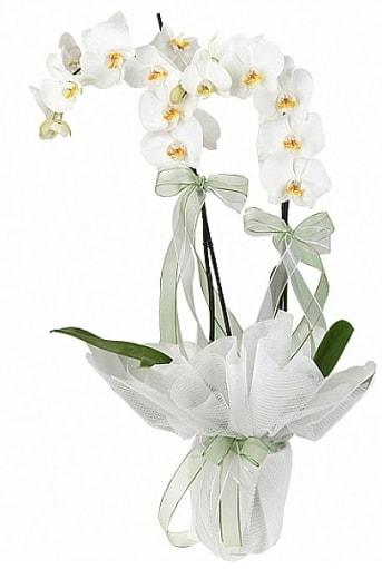 Çift Dallı Beyaz Orkide  Yozgat anneler günü çiçek yolla