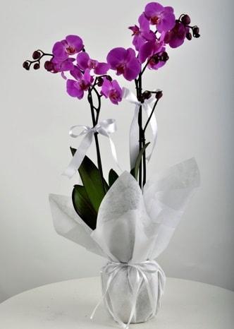 Çift dallı saksıda mor orkide çiçeği  Yozgat çiçek siparişi vermek