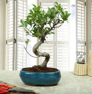 Amazing Bonsai Ficus S İthal  Yozgat internetten çiçek siparişi