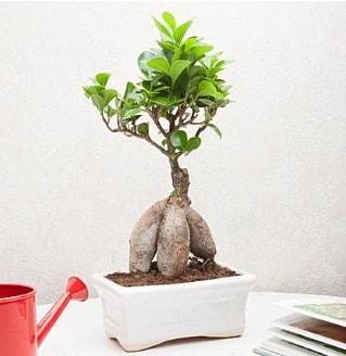 Exotic Ficus Bonsai ginseng  Yozgat çiçek servisi , çiçekçi adresleri