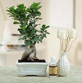 Ginseng ficus bonsai  Yozgat çiçekçiler