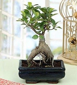 Appealing Ficus Ginseng Bonsai  Yozgat anneler günü çiçek yolla