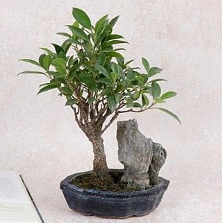 Japon ağacı Evergreen Ficus Bonsai  Yozgat çiçek gönderme sitemiz güvenlidir