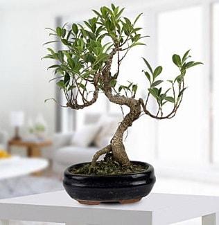 Gorgeous Ficus S shaped japon bonsai  Yozgat yurtiçi ve yurtdışı çiçek siparişi