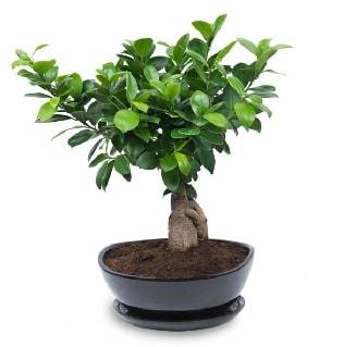 Ginseng bonsai ağacı özel ithal ürün  Yozgat internetten çiçek satışı