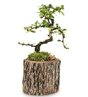 Doğal kütükte S bonsai ağacı  Yozgat çiçek satışı