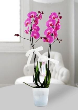 Çift dallı mor orkide  Yozgat çiçekçiler