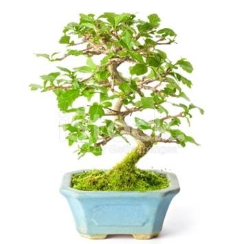 S zerkova bonsai kısa süreliğine  Yozgat İnternetten çiçek siparişi