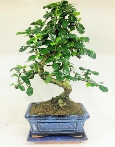 S Bonsai japon ağacı bitkisi  Yozgat uluslararası çiçek gönderme