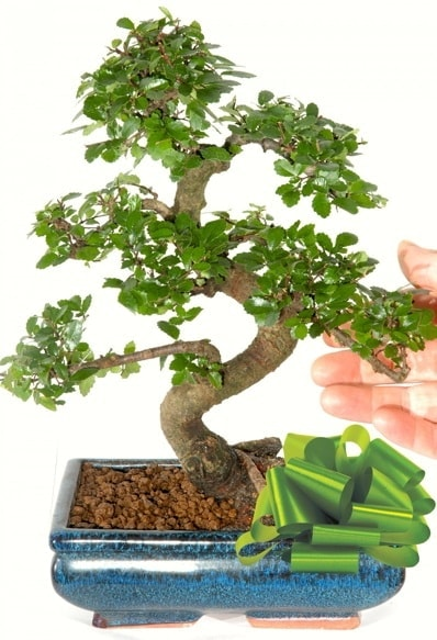 Yaklaşık 25 cm boyutlarında S bonsai  Yozgat çiçek siparişi sitesi