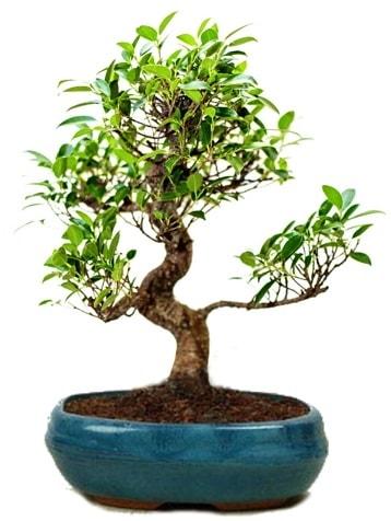 25 cm ile 30 cm aralığında Ficus S bonsai  Yozgat çiçek gönderme sitemiz güvenlidir