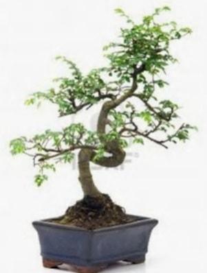 S gövde bonsai minyatür ağaç japon ağacı  Yozgat çiçek satışı