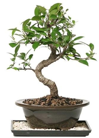 Altın kalite Ficus S bonsai  Yozgat çiçekçi telefonları  Süper Kalite