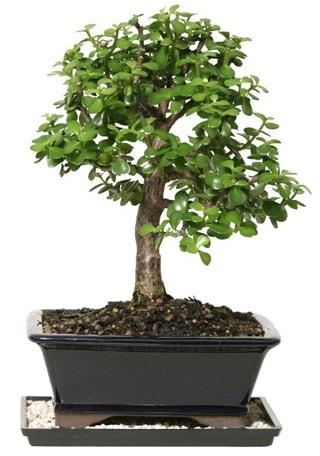 15 cm civarı Zerkova bonsai bitkisi  Yozgat çiçek siparişi sitesi