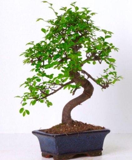 S gövdeli bonsai minyatür ağaç japon ağacı  Yozgat çiçek gönderme sitemiz güvenlidir