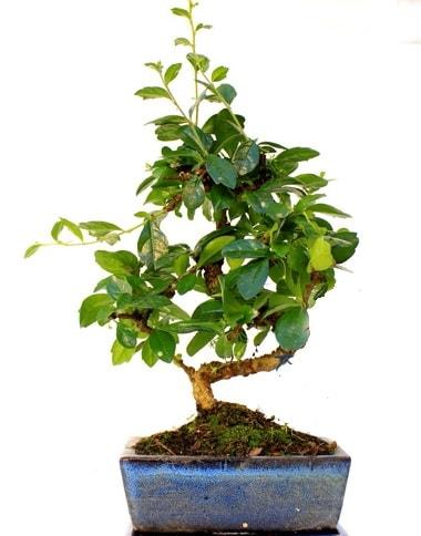 Bonsai Minyatür Ağaç Bonzai S Gövde  Yozgat internetten çiçek satışı