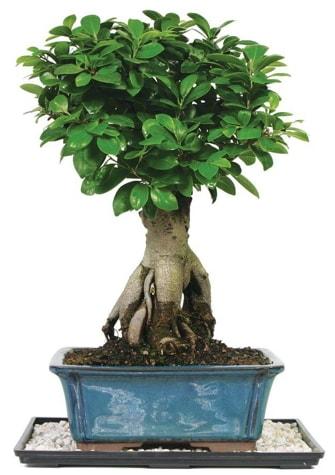 Bonsai Ginsing Grafted Ficus Bonsai  Yozgat çiçek yolla